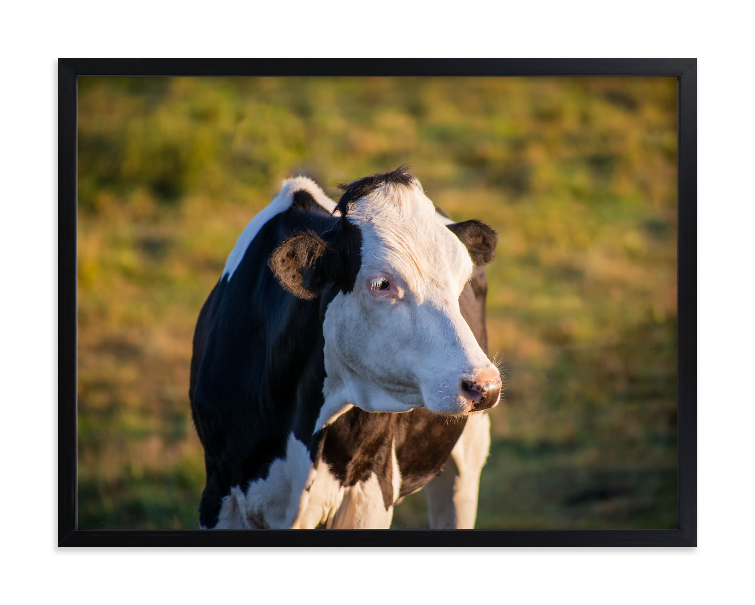 """""""Cow and sunset II"""" by Lying on the grass in beautiful frame options and a variety of sizes."""