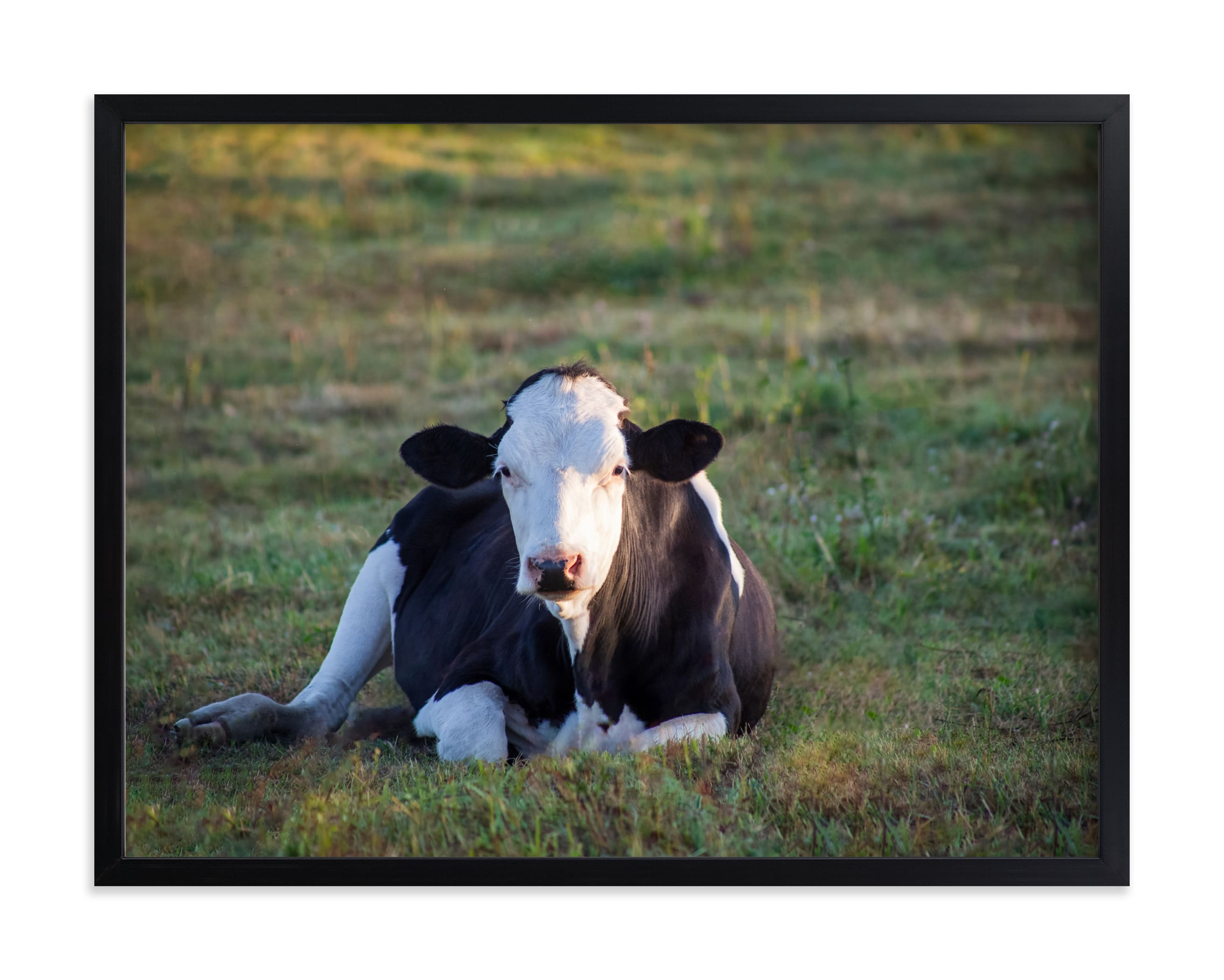 """""""Cow in the sunset"""" by Lying on the grass in beautiful frame options and a variety of sizes."""