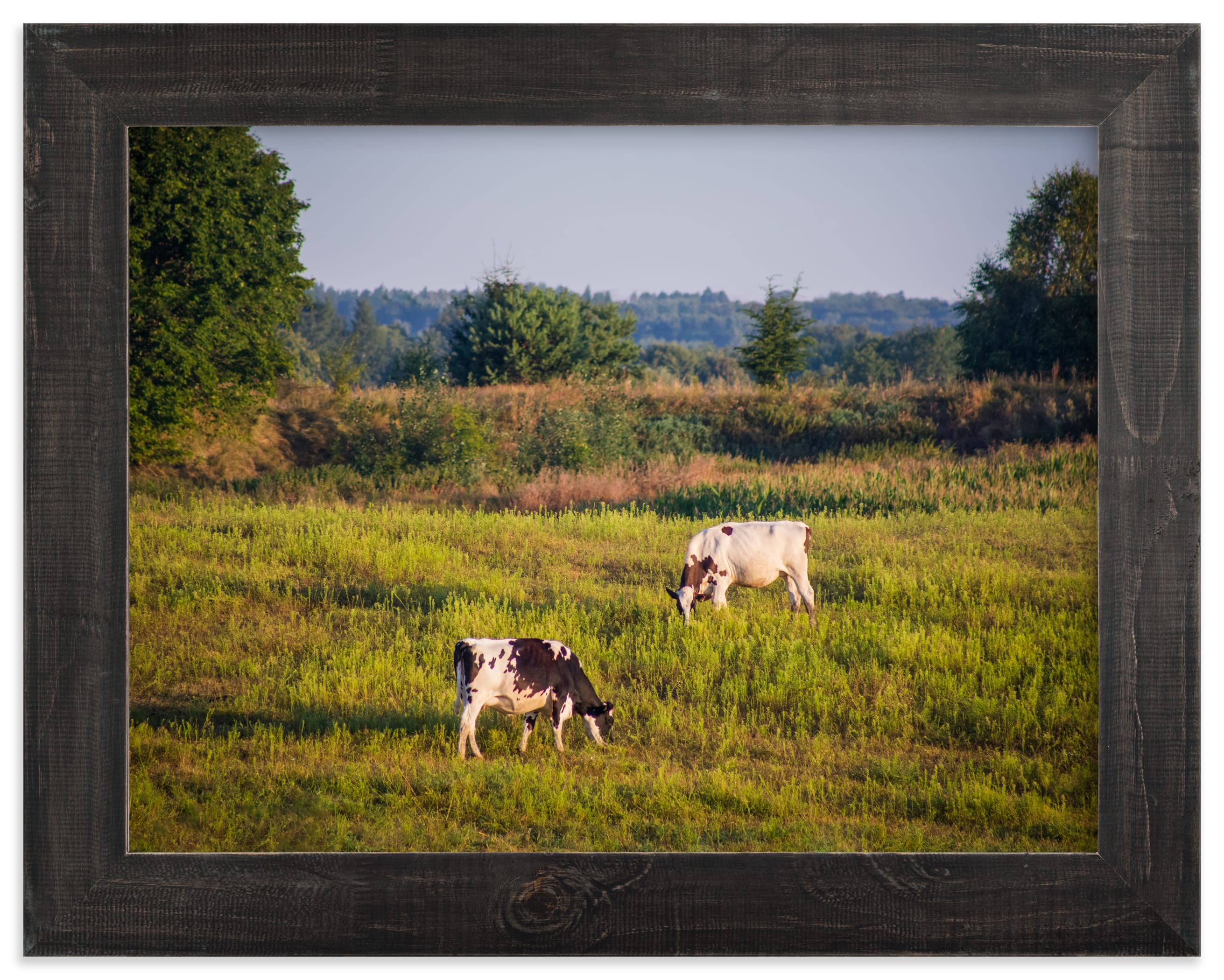 """""""Cows in the pasture"""" by Lying on the grass in beautiful frame options and a variety of sizes."""