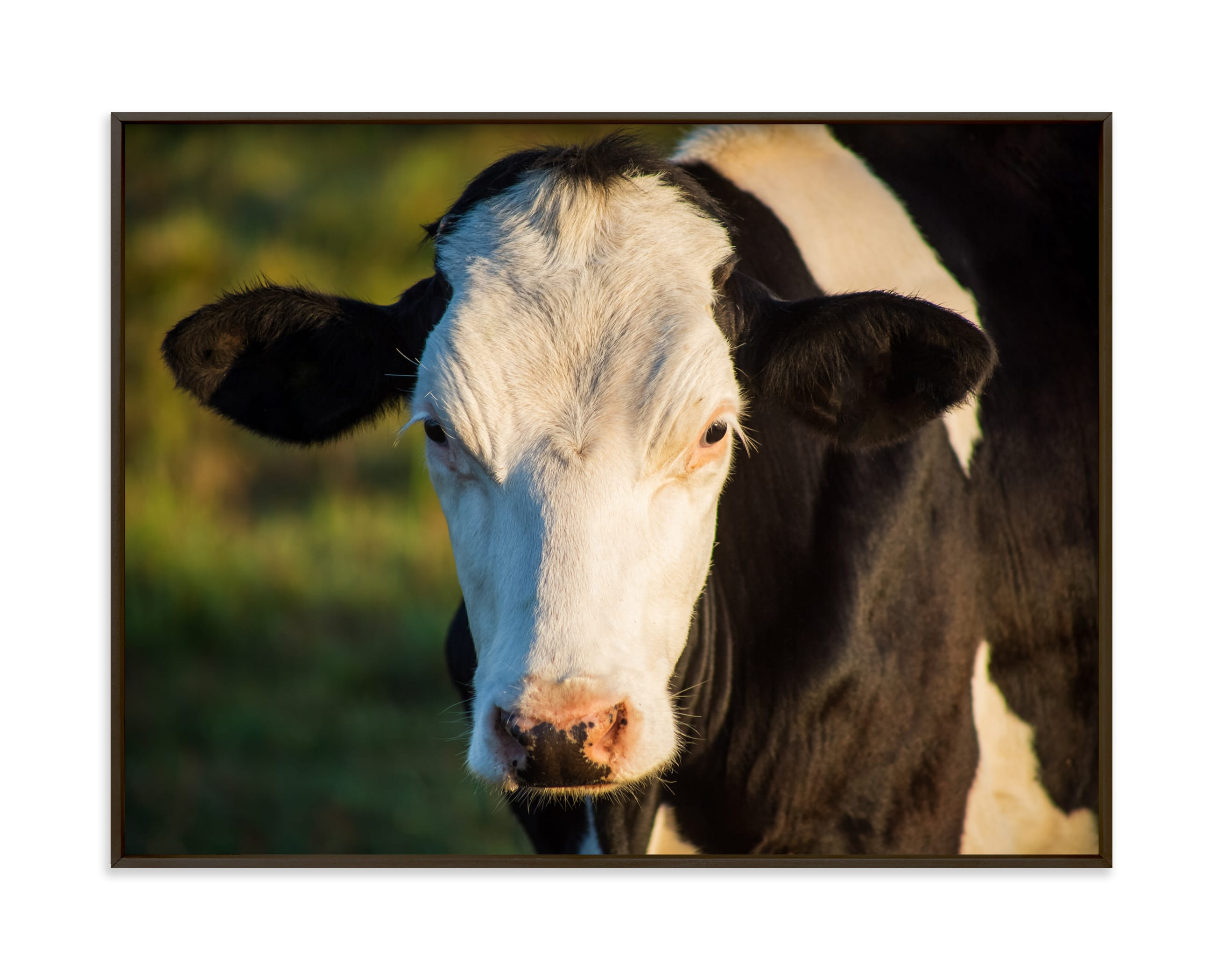 """Portrait of a cow"" by Lying on the grass in beautiful frame options and a variety of sizes."
