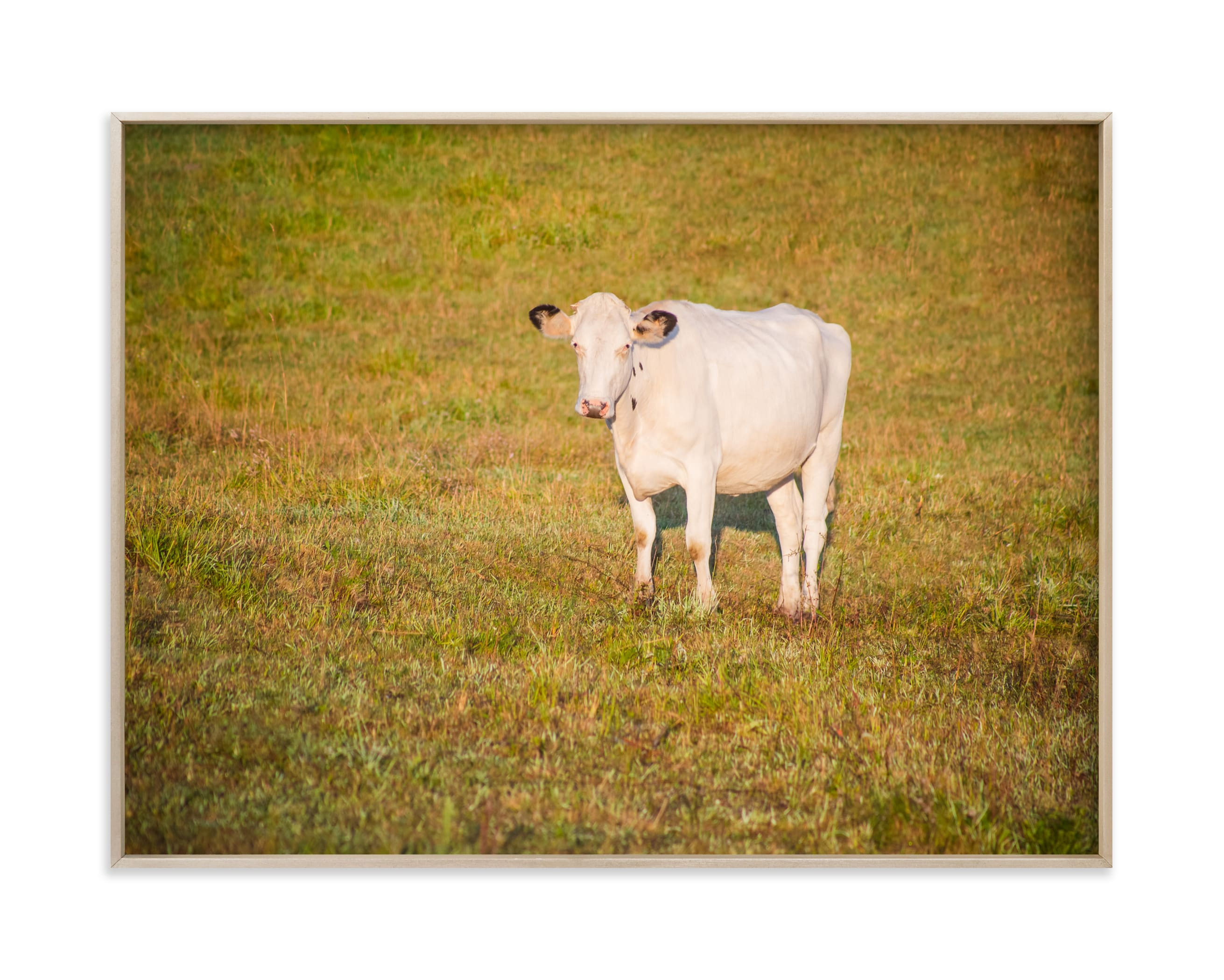 """""""White cow"""" by Lying on the grass in beautiful frame options and a variety of sizes."""