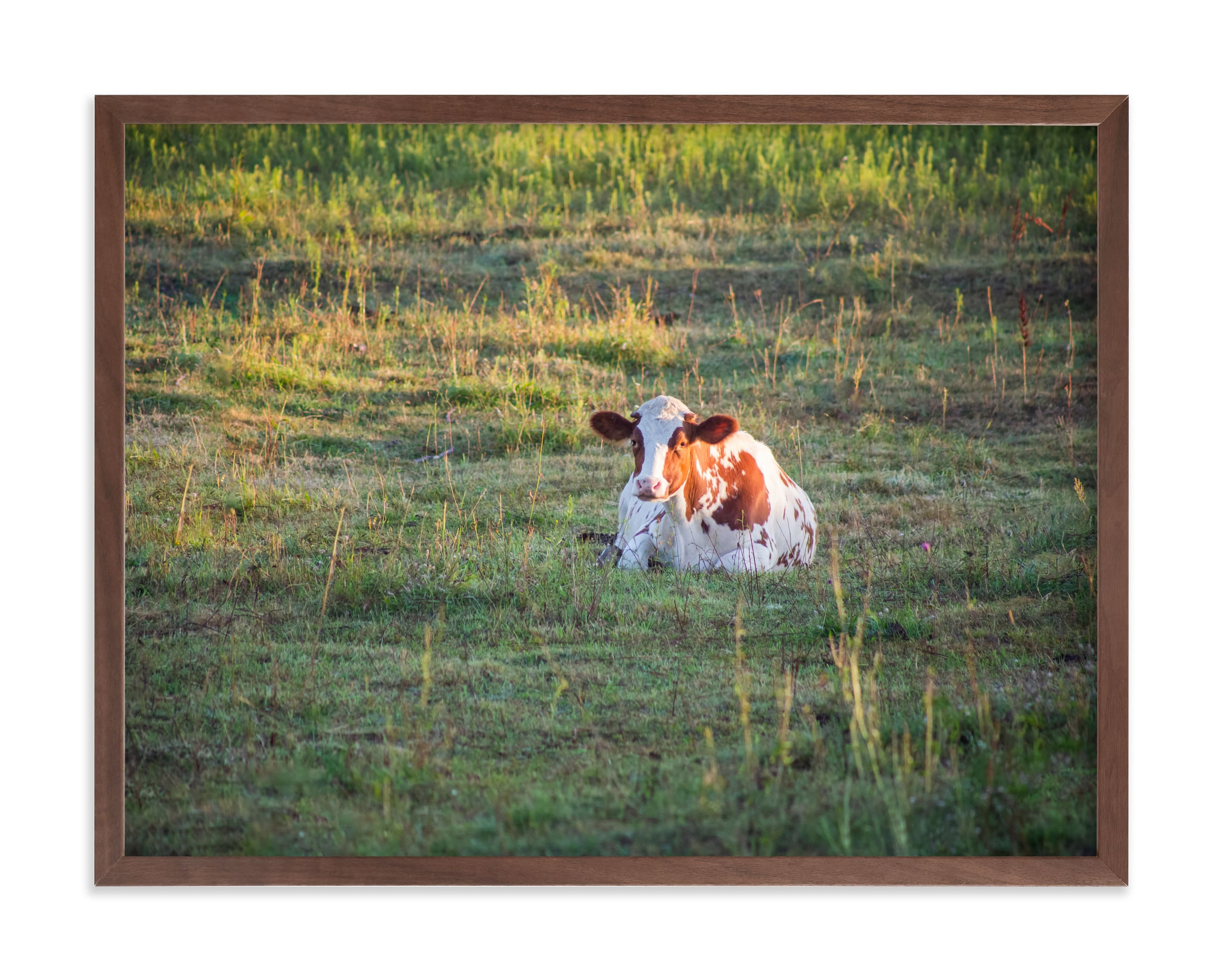 """Cow & sunset"" by Lying on the grass in beautiful frame options and a variety of sizes."