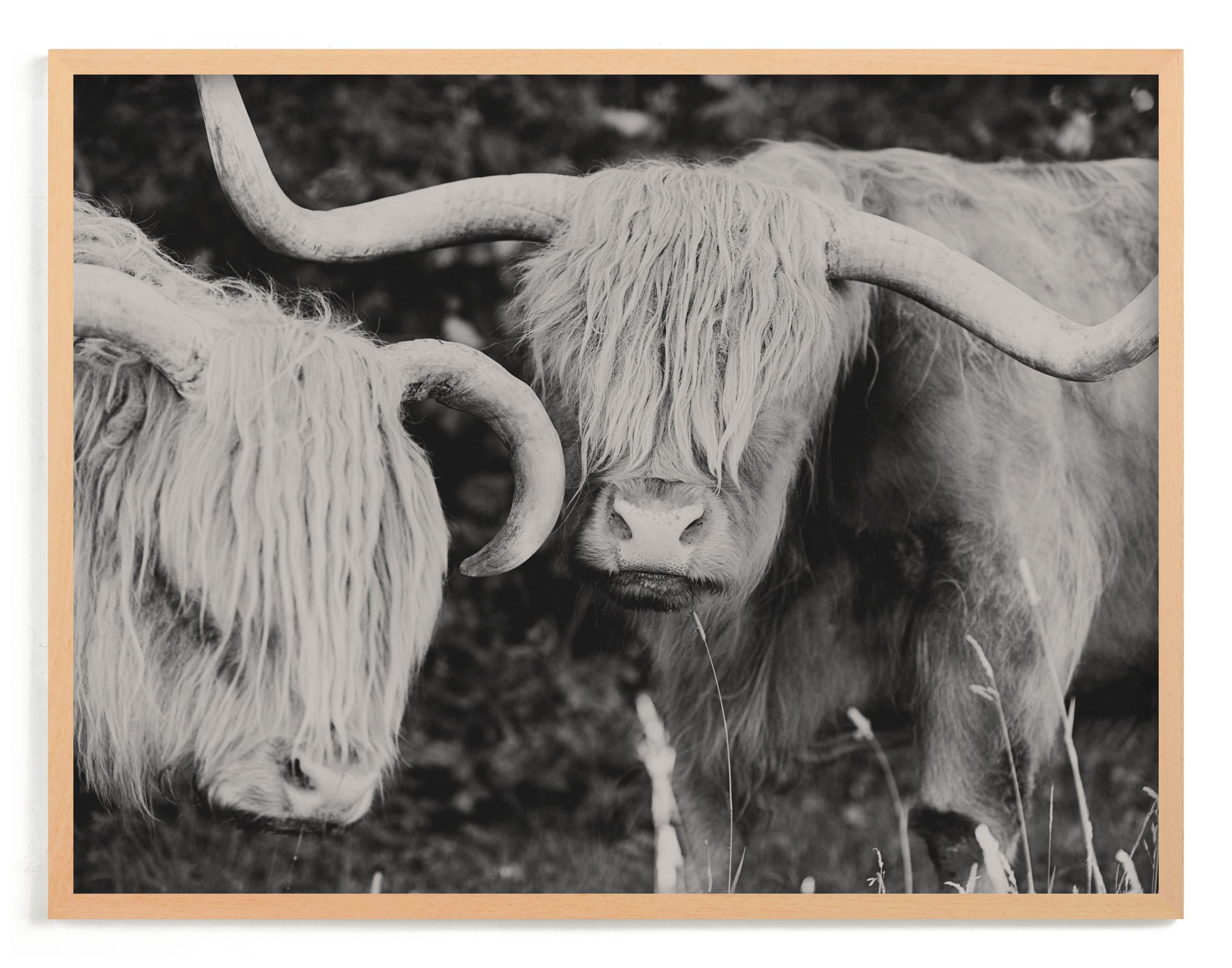 """""""Highland Cows"""" - Limited Edition Art Print by Amy Carroll in beautiful frame options and a variety of sizes."""
