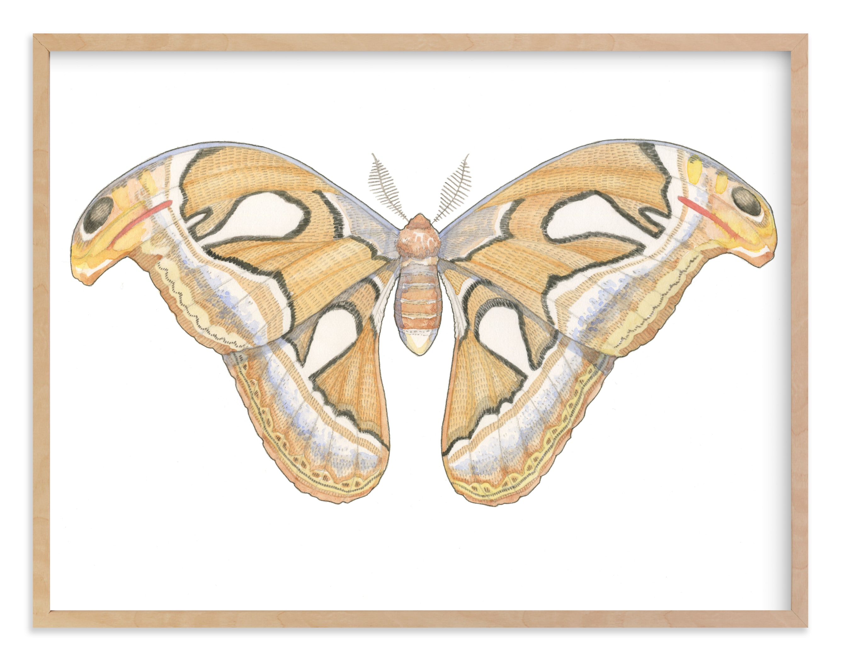 """Atlas Moth"" - Limited Edition Art Print by Natalie Groves in beautiful frame options and a variety of sizes."