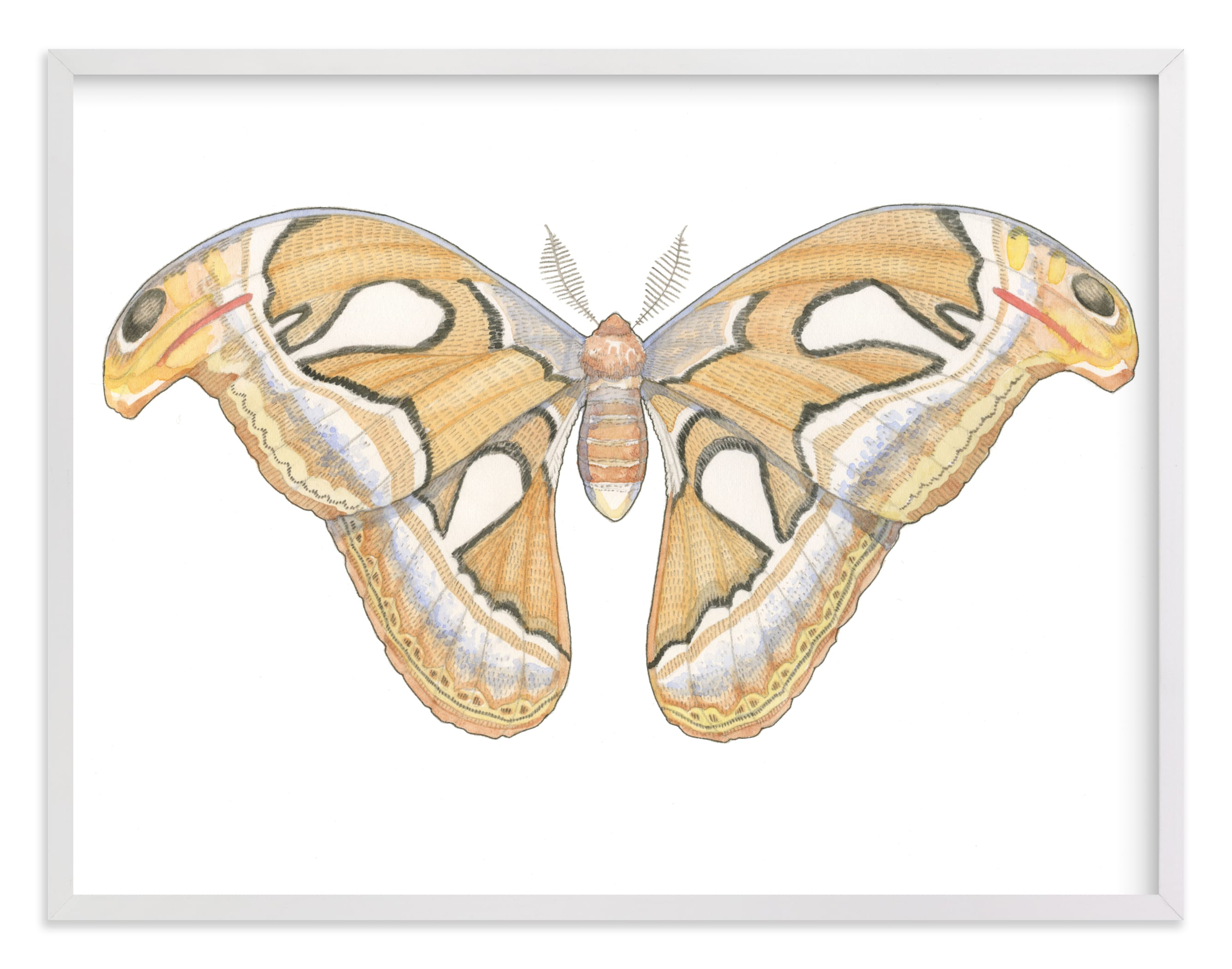 """""""Atlas Moth"""" - Limited Edition Art Print by Natalie Groves in beautiful frame options and a variety of sizes."""